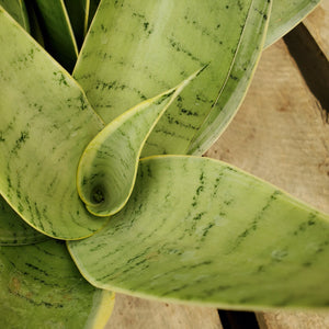 Sansevieria 'Night Owl' - Night Owl Snake Plant