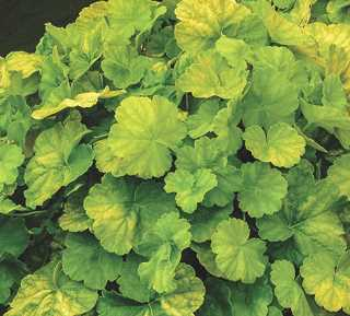 Heuchera 'Northern Exposure Lime' - Northern Exposure™ Lime Heuchera
