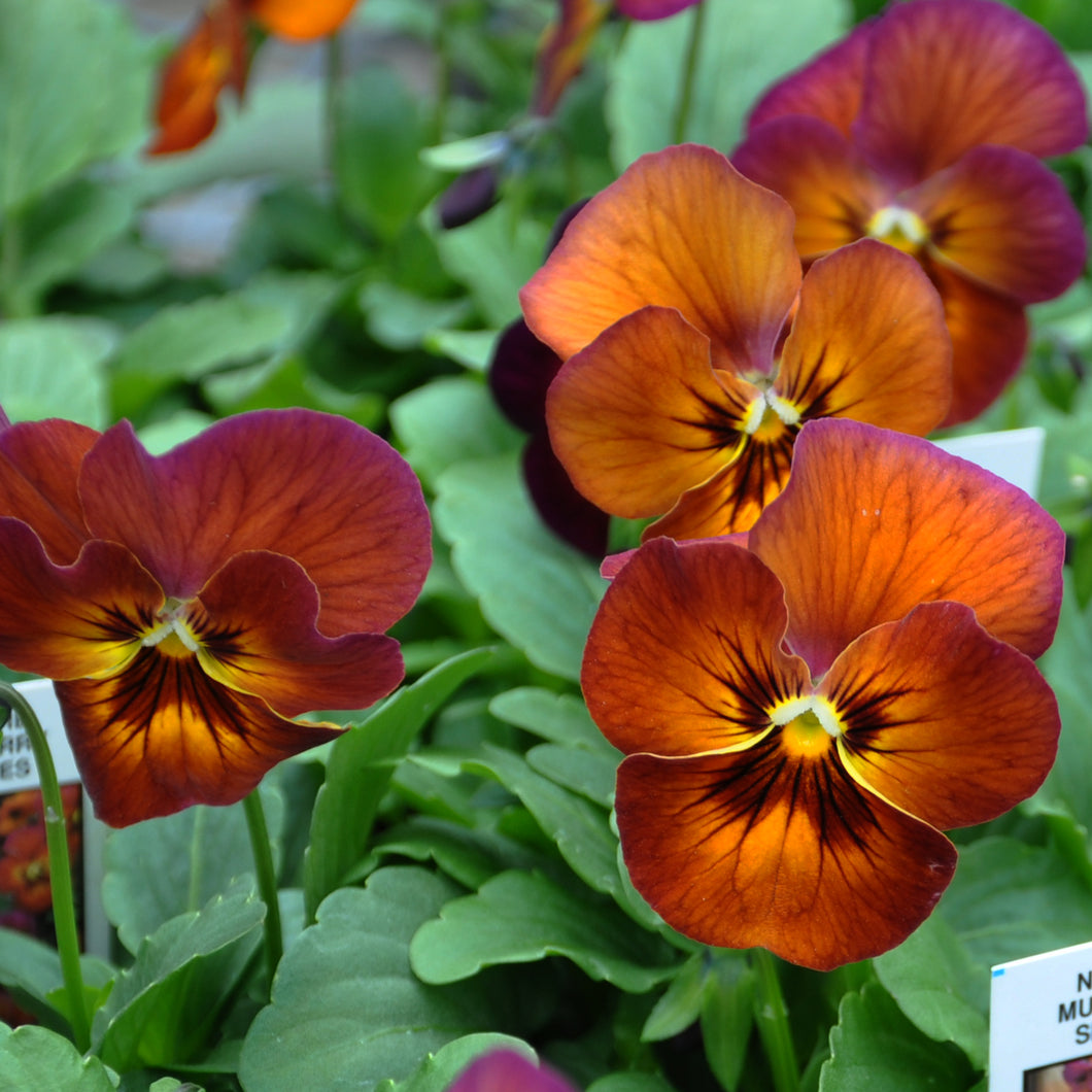 Edible Flower - Pansy, Mulberry Shades - Certified Organic
