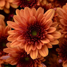 Load image into Gallery viewer, Fall Mum - Pop Eye