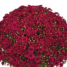 Load image into Gallery viewer, Fall Mum - Wanda™