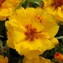 Load image into Gallery viewer, Portulaca, Happy Hour