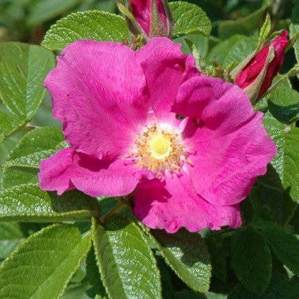 Rosa rugosa - Pink Shrub Rose