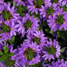 Load image into Gallery viewer, Trailing - Scaevola, Fan Flower
