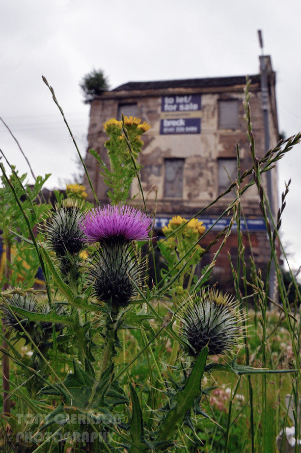 Thistle - Prints - Tony Clerkson