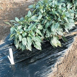 Black Plastic Mulch 4' x 100' - JCM Greenhouse Mfg.