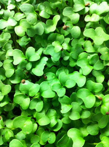 UNTREATED BLUE CURLED KALE SEEDS - MICRO GREENS, SPROUTS, GARDEN