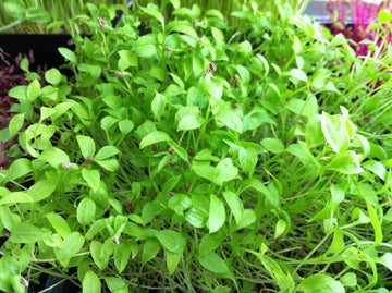 ITALIAN FLAT LEAF PARSLEY SEEDS - MICRO GREEN SUPERFOOD - UNTREATED & NON GMO