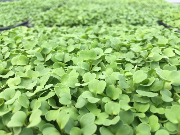 ARUGULA SEEDS - UNTREATED & NON GMO - PEPPERY, SPICY FLAVORED MICRO GREEN