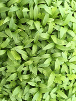 CILANTRO SEEDS - VERY TASTY MICRO GREENS OR GARDEN - UNTREATED & NON-GMO
