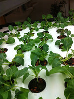 WHITE STEM BOK CHOY SEEDS - MICRO GREENS, SPROUTS, VEGETABLE GARDEN, OR HYDROPONIC - UNTREATED & NON GMO