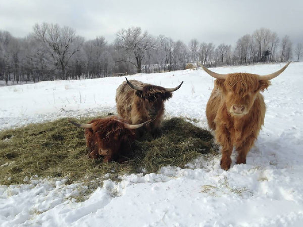 100% Grass-Fed Beef | Quarter Deposit | Scottish Highlander with Home Delivery
