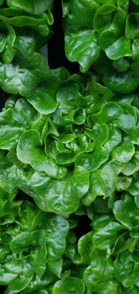 Green Oak Leaf Lettuce - 1 head