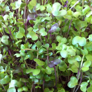 Mixed Seed Blend - For Growing Microgreens - Broccoli, Kale, Red Cabbage, Purple Kohlrabi, Bok Choy, Garnet Amaranth