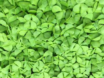 GENOVESE BASIL SEEDS - TASTY MICRO GREEN OR GROW IN THE GARDEN, CONTAINER POTS - UNTREATED & NON GMO