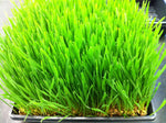 ORGANIC HARD RED WINTER WHEATGRASS SEEDS - NON GMO & CHEMICAL FREE - JUICING & PET GRASS