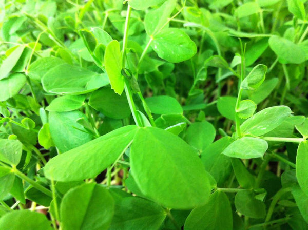 CERTIFIED ORGANIC NON GMO SPECKLED SWEET PEA SEEDS - AMAZING MICRO GREENS - HIGH PROTEIN!