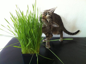 ORGANIC WHEAT GRASS CAT GRASS HOME GROWING KIT! 10 CROPS FOR YOUR FURRY FRIENDS