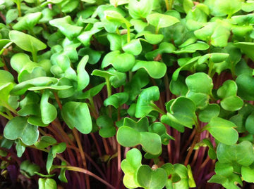MIXED RADISH SEEDS - STRONG FLAVOR, BEAUTIFUL MICRO GREENS - UNTREATED & NON GMO
