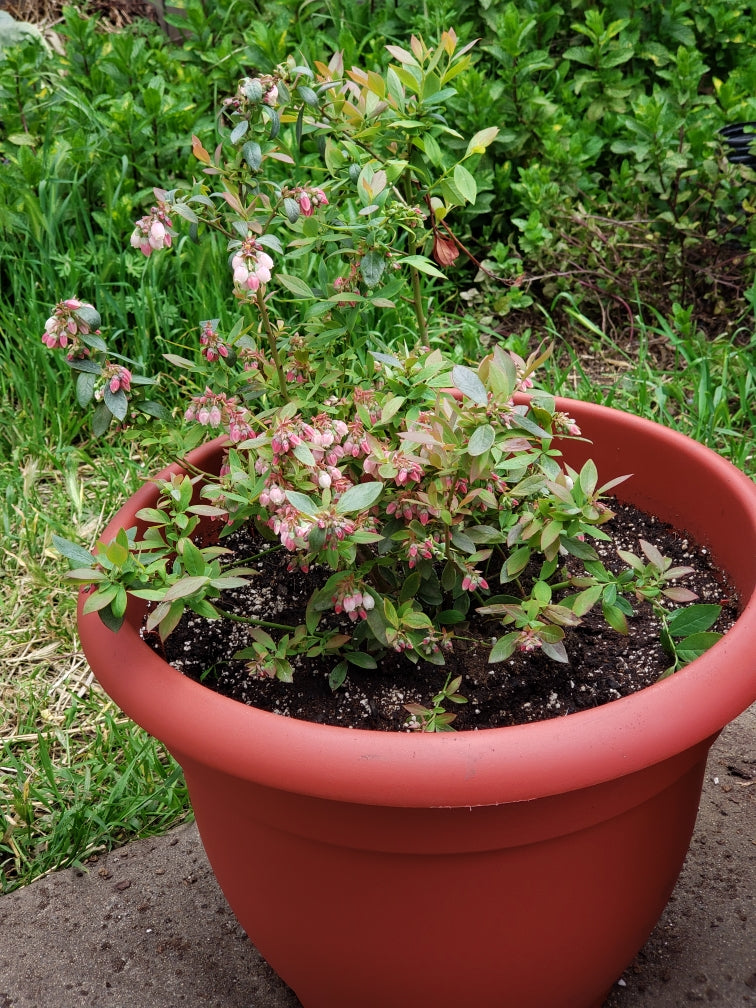 Blueberry Bush in large decorative pot.