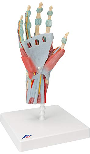 3B Scientific M33/1 Modèle de Squelette de la Main avec Ligaments et Muscles - 3B Smart Anatomy
