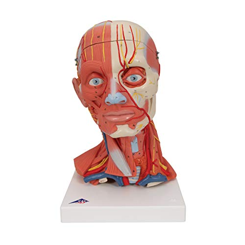 3B Scientific C05 Musculature de la Tête  en 5 Parties + logiciel danatomie gratuit - 3B Smart Anatomy
