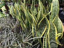 Load image into Gallery viewer, Sansevieria Laurentii (Snake Plant) 6""