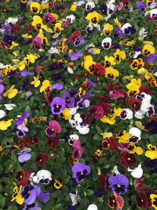 Pansy, Matrix Blotch Mix - Flat
