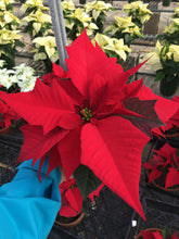 "Load image into Gallery viewer, Poinsettias 5"" Pan"