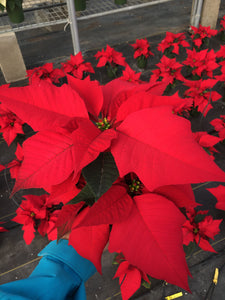 Poinsettias 4.5""
