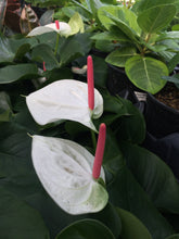Load image into Gallery viewer, Anthurium White 6""
