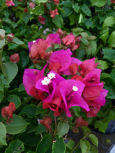 Load image into Gallery viewer, Bougainvillea 'New River Purple' 10""