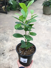 Load image into Gallery viewer, Ficus Moclame 6""
