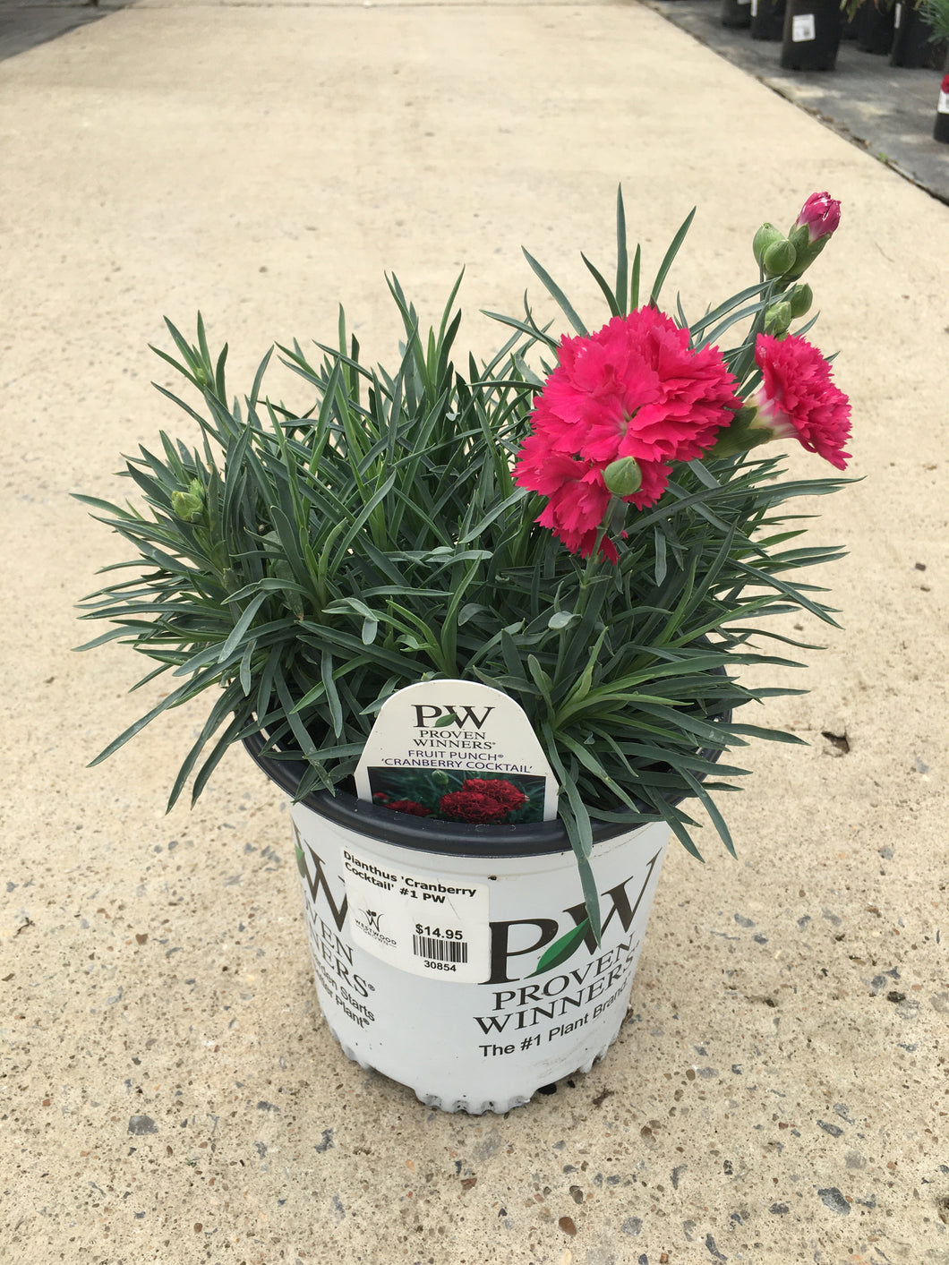 Dianthus 'Cranberry Cocktail' #1 PW