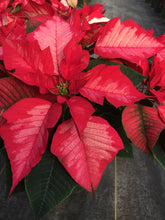 Load image into Gallery viewer, Poinsettias 6""