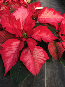 Poinsettias 6""