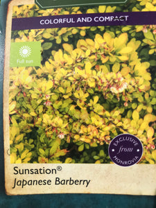 Barberry, Sunsation #1