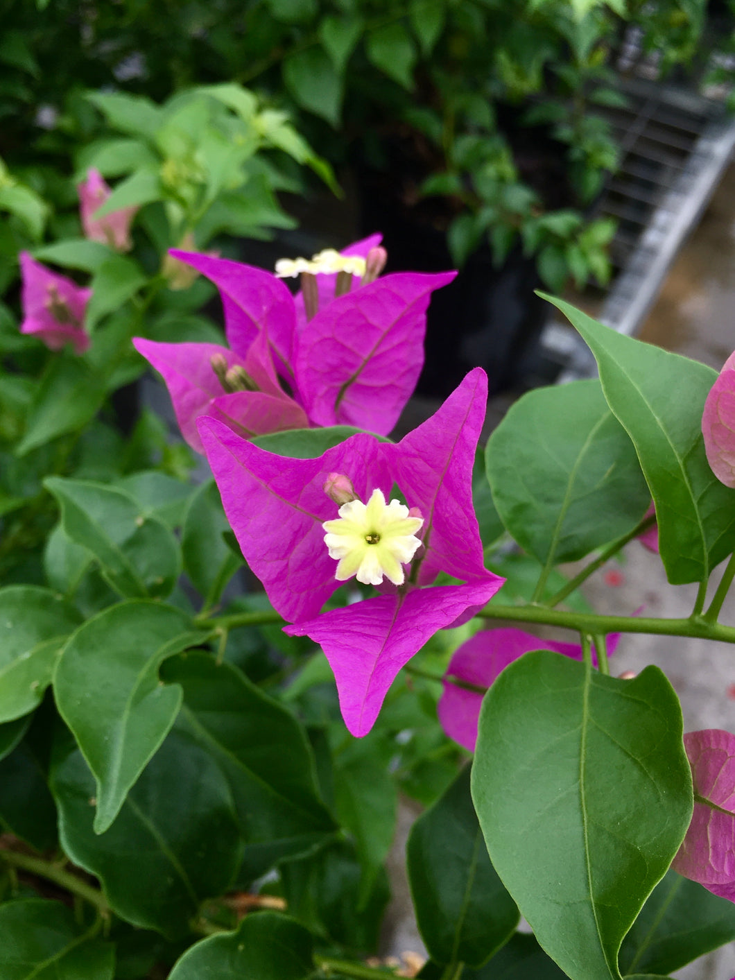 Bougainvillea 'Silhouette Purple' 10""