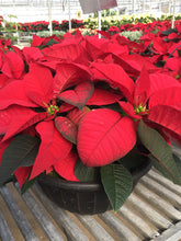 Load image into Gallery viewer, Poinsettias Large Bowl