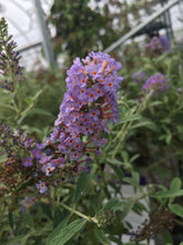 Load image into Gallery viewer, Buddleia 'Asian Moon' (Butterfly Bush) #1