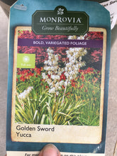Load image into Gallery viewer, Yucca Golden Sword #2