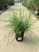 Load image into Gallery viewer, Grass Maiden Miscanthus 'Little Zebra' #1