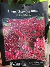 Load image into Gallery viewer, Euonymus Dwarf Burning Bush #3