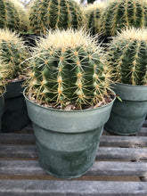 Load image into Gallery viewer, Barrel Cactus