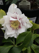 Load image into Gallery viewer, Helleborous 'Confetti Cake' (Lenten Rose) #1
