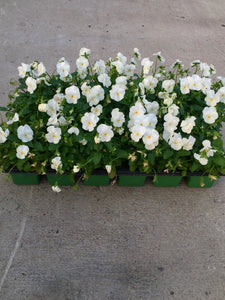 Viola, Penny White Color Tray