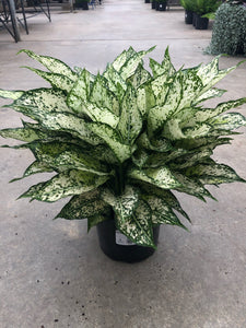 Aglaonema Bright Colors 8""