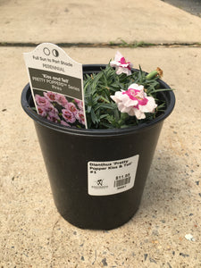Dianthus 'Pretty Popper Kiss and Tell' #1