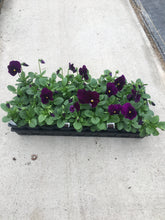 Load image into Gallery viewer, Pansy, Matrix Purple - Flat