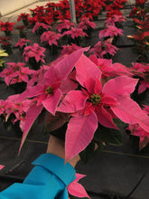 Load image into Gallery viewer, Poinsettias 4.5""